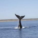 Scoperti i canti di corteggiamento delle balene